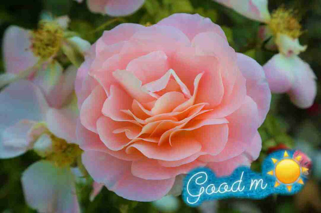 Beautiful good morning image with pink rose flower