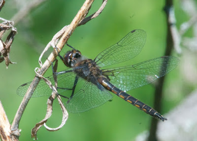 Common Baskettail (Epitheca cynosura)