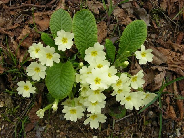 Le piu 39 insolite del solito sfumature verdi for Primule immagini