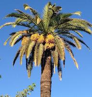 Resultat d'imatges de palmera datilera