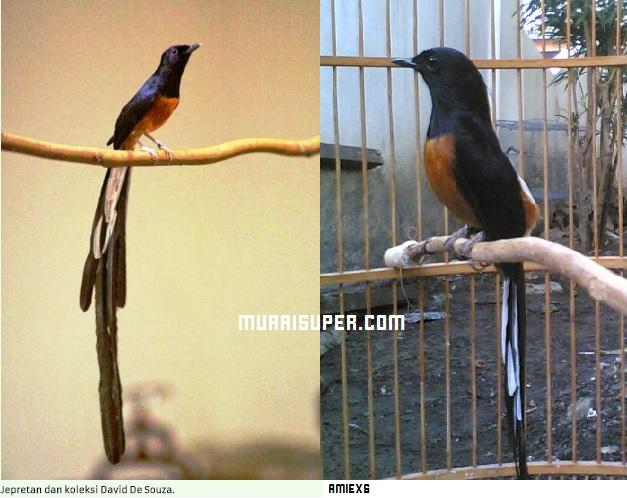 Perbandingan Burung Murai Batu Malaysia dan Murai Medan