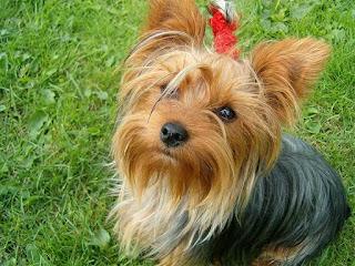 ¿Eres dueño de que eres Yorkshire Terrier o él te posee?