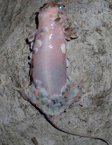 New Species Of Gecko Sheds Skin to Escape its Enemies! Unbelievable!