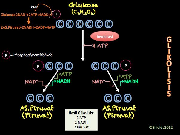 ILoveBiology: Metabolisme