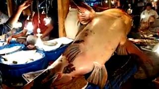 লালবাজারে বিশাল আকৃতির বাগাইড় মাছ, দাম ৪ লাখ টাকা