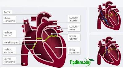 Darah dan Jantung