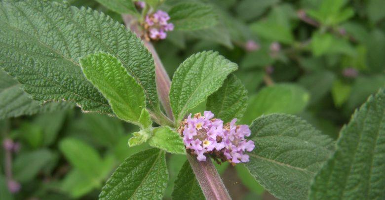 Os benefícios do chá erva-cidreira que impactam na sua saúde