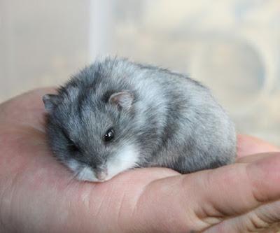 Thông tin và nguồn gốc của loài hamster campbell