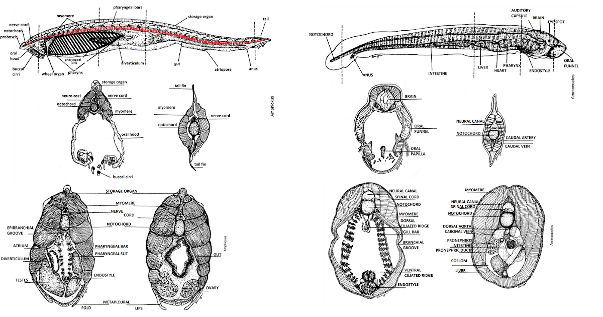Bio 324 Vert Zoo CSULB: amphioxus and ammocoetes