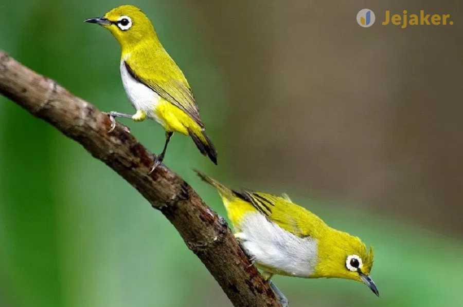 cara membuat burung pleci bahan menjadi gacor