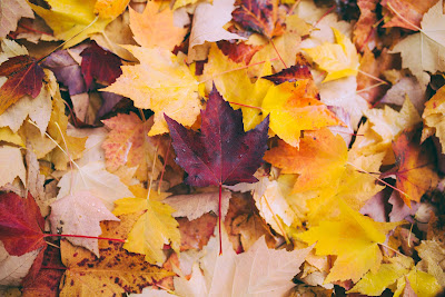 A pile of brightly-coloured maple leaves