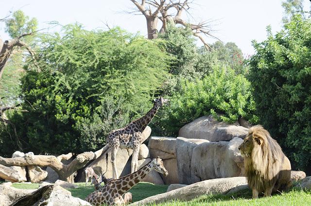 jirafas y leones en la sabana africana