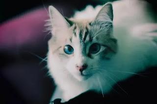Gato BB