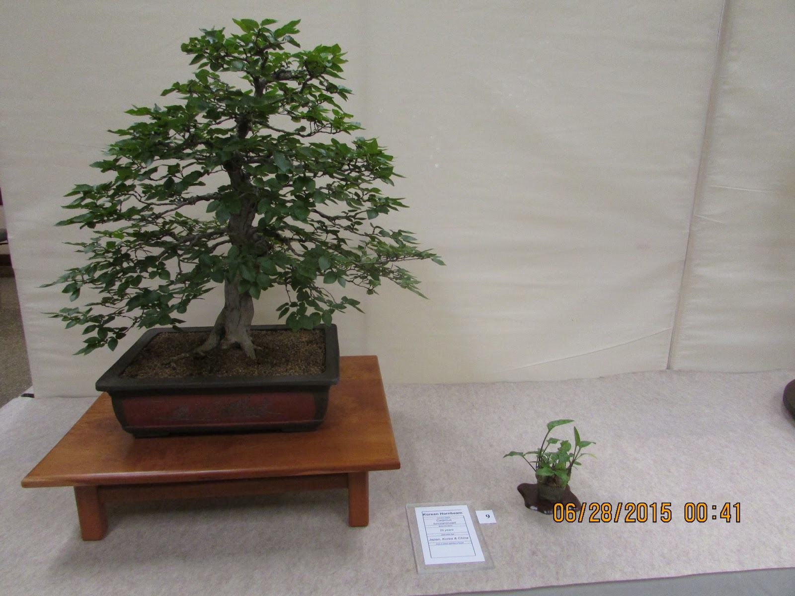 Bent Tree Bonsai Dallas Bonsai Tree