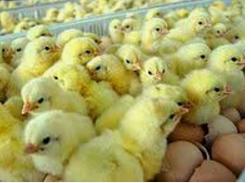 Cari Tahu Yuk! Keunggulan Ternak Ayam Broiler
