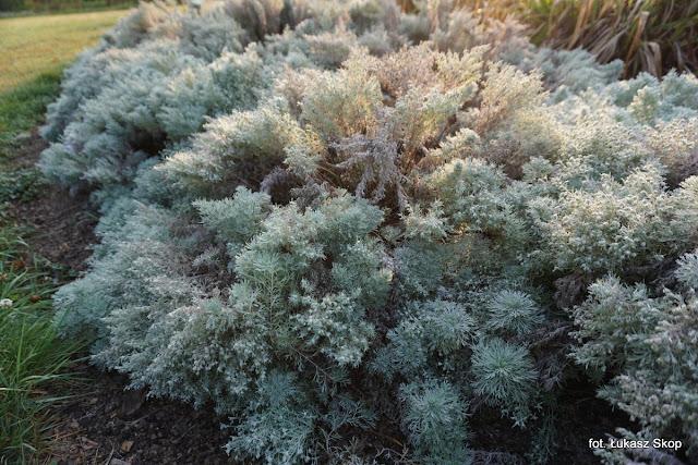 rośliny o srebrnych liściach