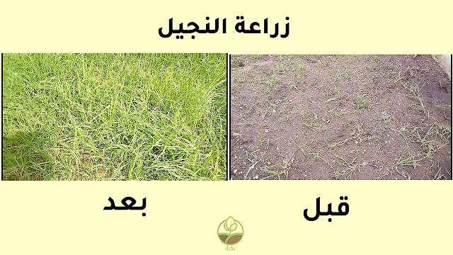 زراعة النجيل grass