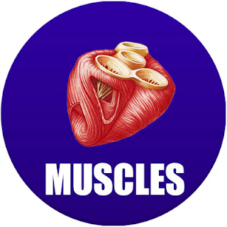 muscles in spanish