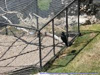 Los famosos cuervos que habitan en la Torre de Londres.