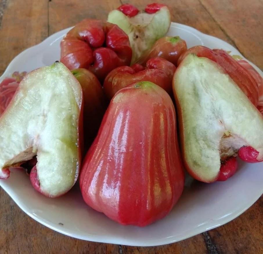 bibit jambu Kusuma merah tanpa biji Jawa Barat