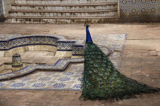 100+ peacock wallpaper free download