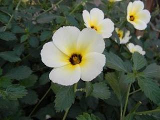 Manfaat Bunga Pukul Delapan (Lidah Kucing) Bagi Kesehatan