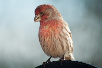 House Finch, Bosque del Apache Visitor Center
