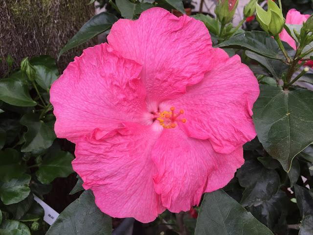 pinke Sommerblüte