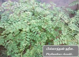 Phyllanthus rheedii.