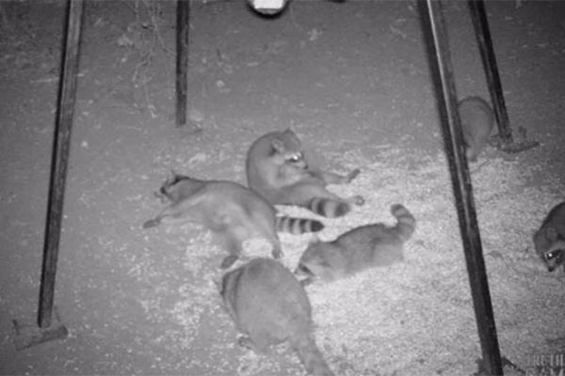Partying-Raccoons