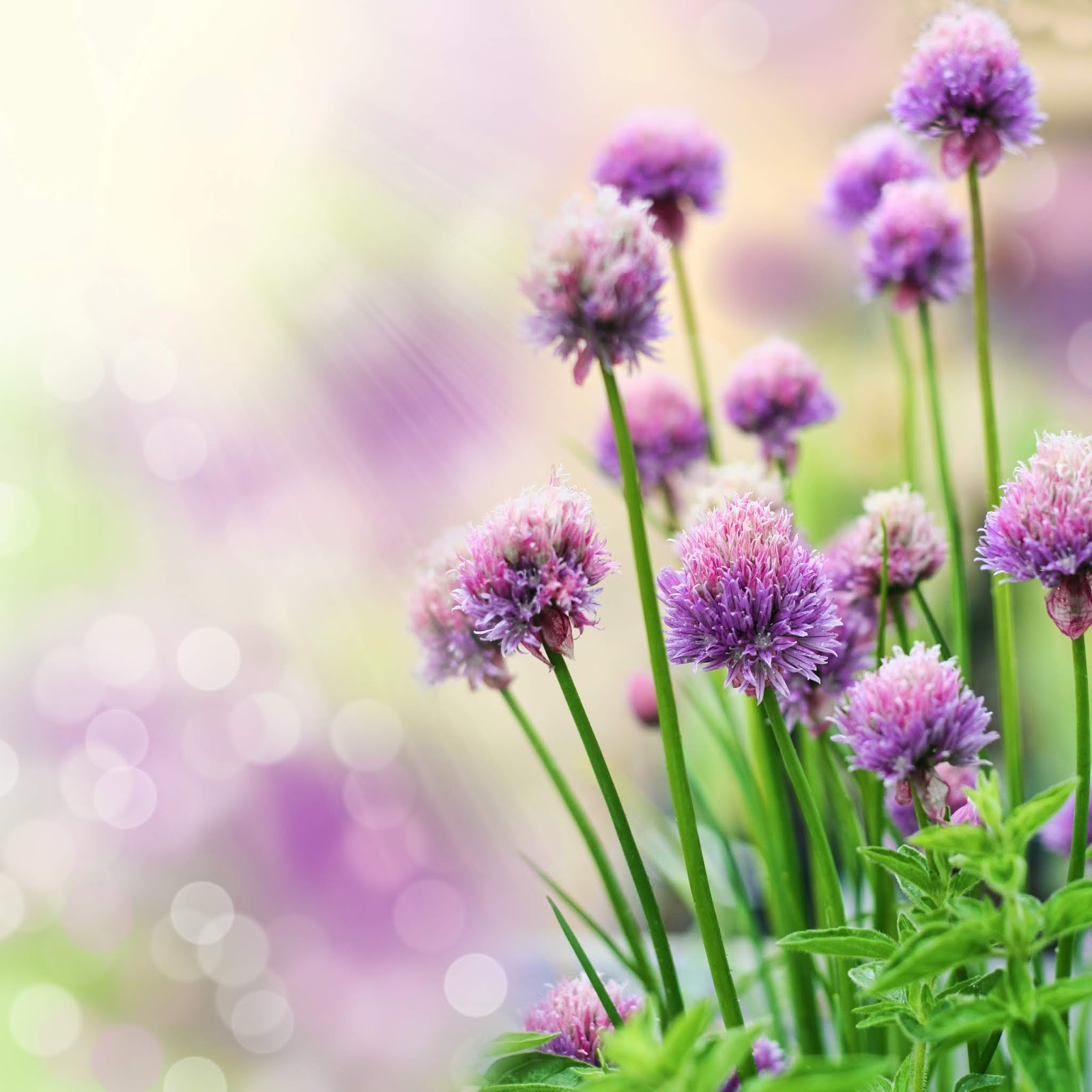 flowers wallpapers - backgroundspic