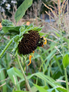 A single bee on a long wilted sunflower