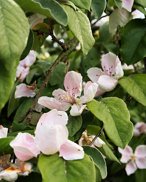 Close up of apple blossom