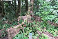 Ficus tree buttress roots - Lyon Arboretum, Manoa Valley, Oahu, HI