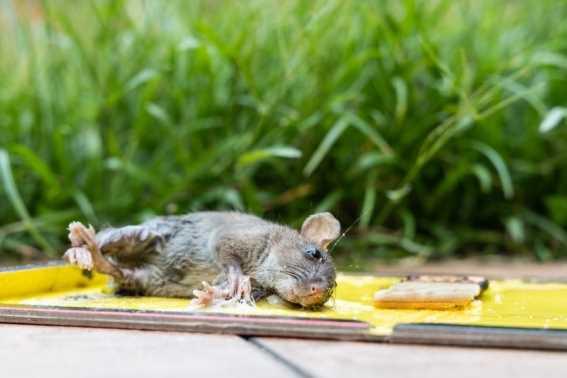 Alat Perangkap Tikus