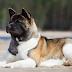 Elbow Dysplasia In Dogs
