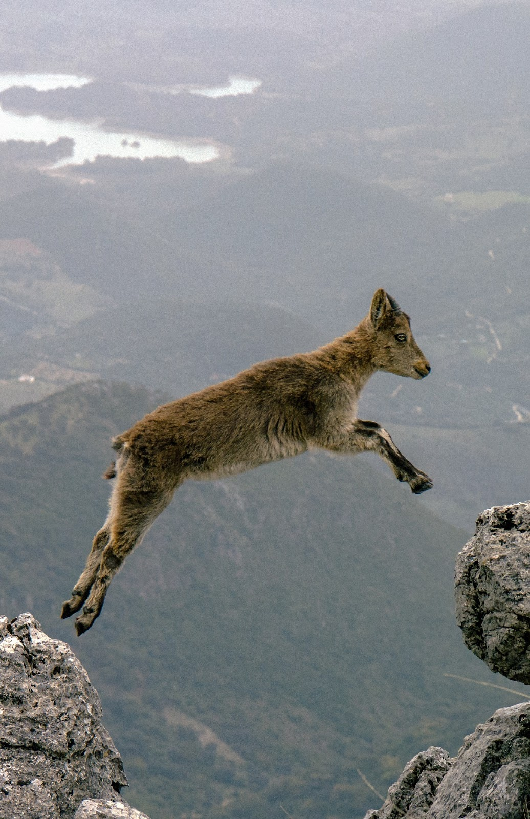 An amazing photo capturing the moment a mountain goat jumps off a ridge.