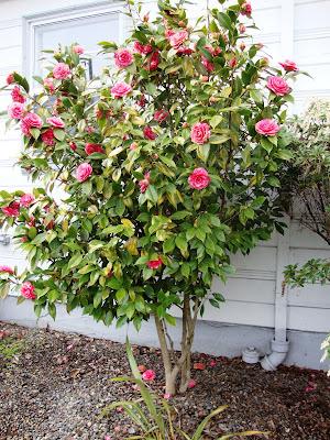 Camellia%2Btree Camellia As Houseplant on