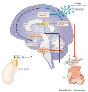 Relazione CART e secrezione ormoni follicoli ovarini porcini