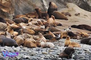 Contoh Hewan Vivipar Singa Laut