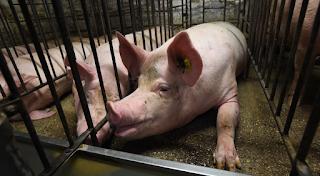 Στην Ισπανία τα γουρούνια είναι πλέον περισσότερα από τους ανθρώπους