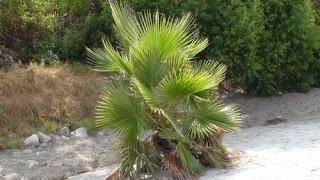 http://1.bp.blogspot.com/-vZwx2W53Yzk/UUetJKehm1I/AAAAAAAACMY/jp_ugV9nvvM/s1600/Mexican+Fan+Palm---in+need+of+trim.jpg