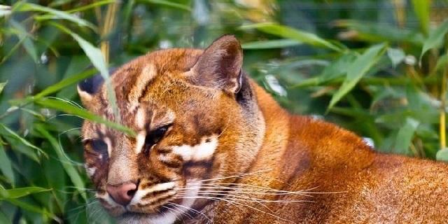 Gambar fauna Kucing merah
