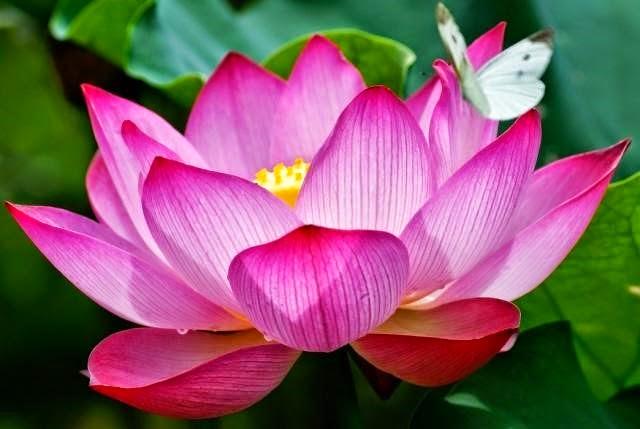 Resultado de imagen para flor loto