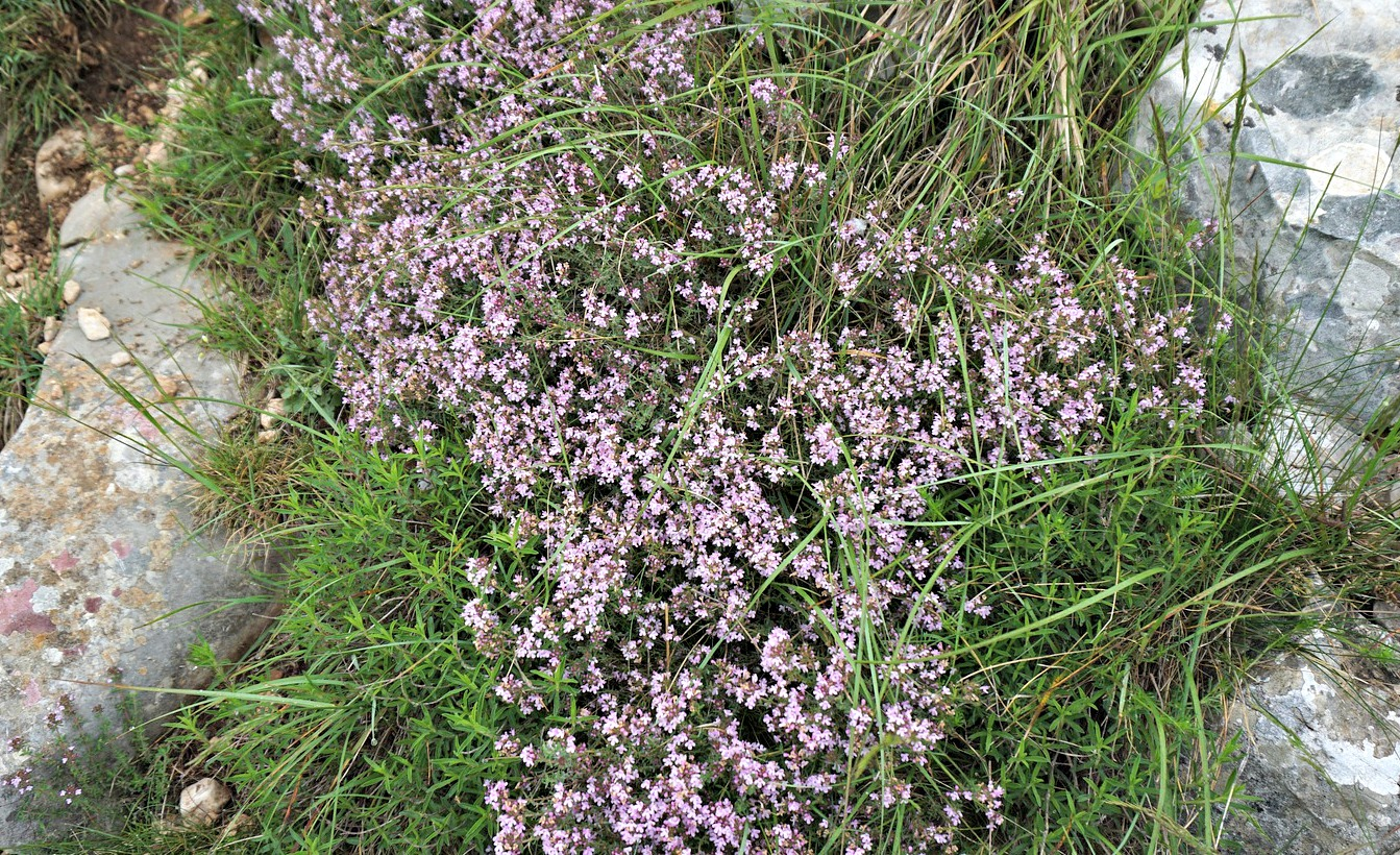 Wild thyme in blossom
