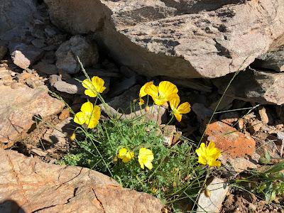 [Papaveraceae] Papaver alpinum – Rhaetian Poppy (Papavero alpino)