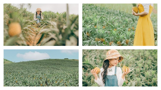 Pineapple hill in Bac Giang in golden ripening season, beautiful and poetic