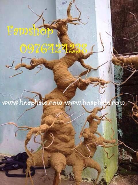 Goc bonsai mai dao tai Trung Hoa