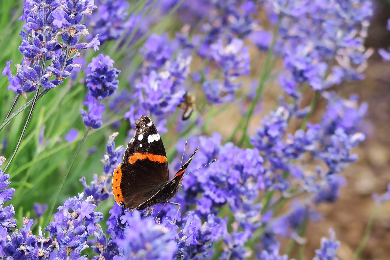 a black and orange butterfly can be seen resting on a strand of lavender