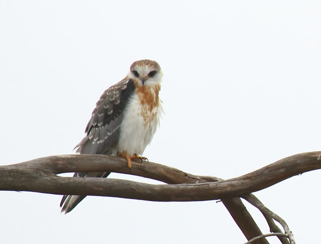 Photo of White-tailed Kite at Stonebridge Trail